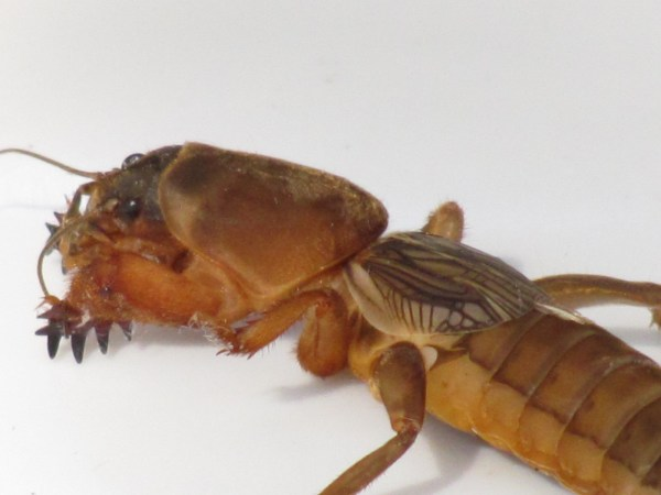 Northern Mole Cricket (Neocurtilla hexadactyla)