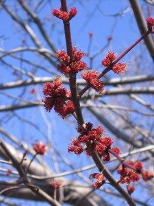 Red Maple (Acer rubrum L.) spring buds