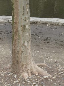 This is a healthy root flare of a tree. The root flare needs to be exposed so the tree can breath.