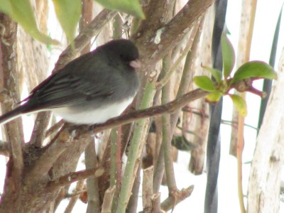 winter bird - a dark-eyed Junco
