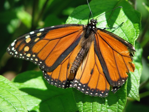 Monarch butterfly with tattered wing.