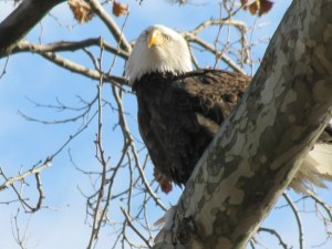 Bald Eagle (Haliaeetus leucocephalus) eating a fish