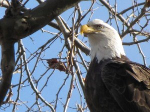Bald Eagle (Haliaeetus leucocephalus) at Conowingo Dam