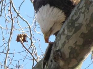 Bald Eagle (Haliaeetus leucocephalus) eating a fish.
