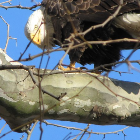 Bald eagle (Haliaeetus-leucocephalus) at Conwingo Dam in Pennsylvania. Photo by Donna L. Long
