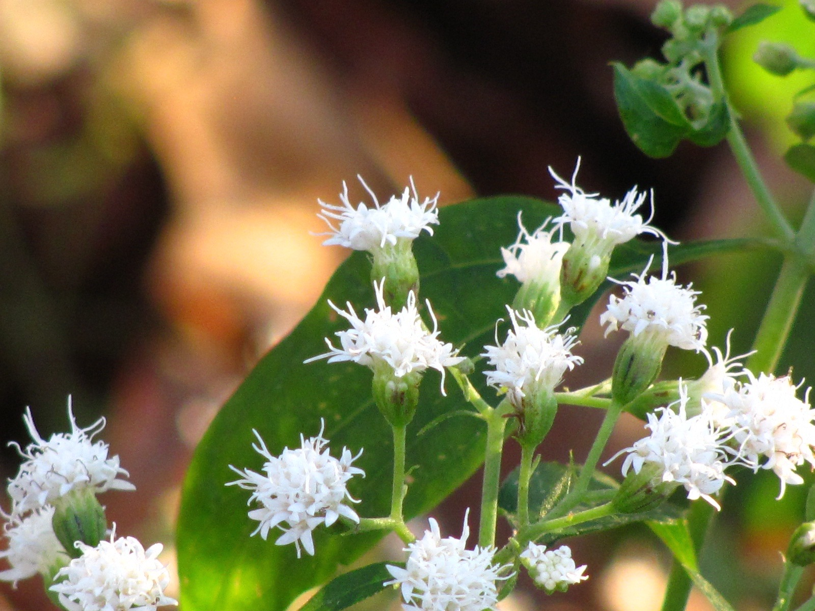 White Snakeroot Pretty But Poisonous Donna L Long