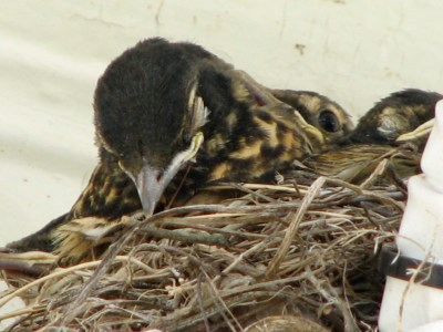 Sleeping Robin chick on the eaves of my front porch
