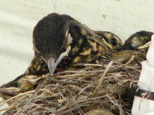 Sleeping Robin chick