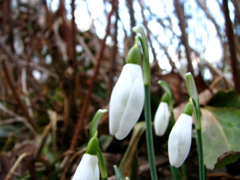 Snowdrops in my garden. Photo courtesy of Donna L. Long.