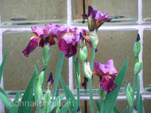Iris bud of native Northern Blue Flag