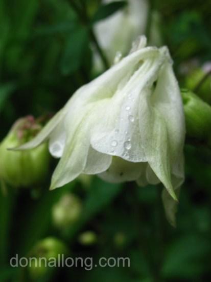 White Columbine blossom