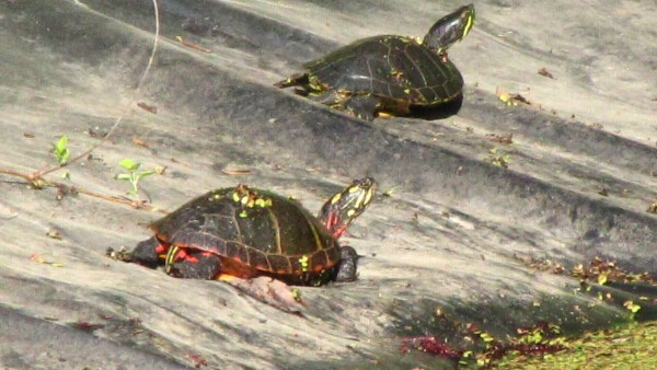 Eastern Painted Turtle (Chrysemys picta) basking in the sun