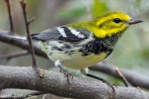 Black-Throated Green Warbler (Dendroica virens). Photo courtesy Jake Dingel/Pennsylvania Game Commission.