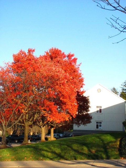 maple tree ablaze in the afternoon autumn sun