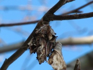 a bagworm moth case hidden by crumpled dead leaves