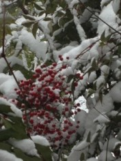 red berries in winter