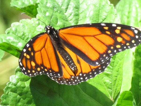 Monarch Butterfly (Danaus plexippus). Brushfoot (Nymphalids) Family. Milkweed butterflies. Photo by Donna L. Long.