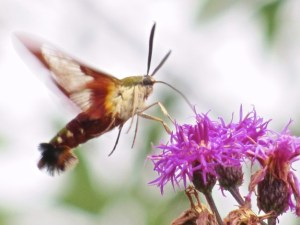 Hummingbird Moth (Hemaris thysbe)