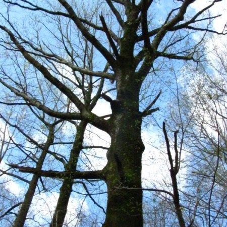wolf tree at Schuylkill Center