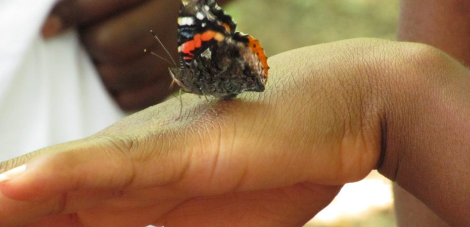 Red Admiral butterfly (Vanessa Atalanta) sipping salts from human skin.