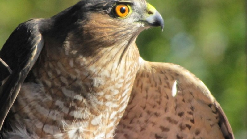 Northern Harrier ( ) Photo taken by Donna L. Long