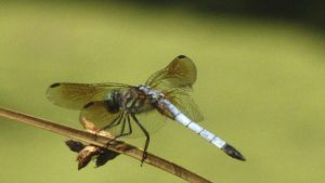 Dragonflies of Philadelphia: A Checklist