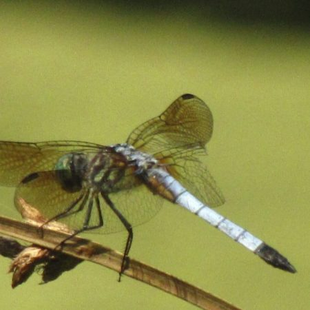 Blue Dasher dragonfly at Schuylkill Center - Photo by Donna L. Long