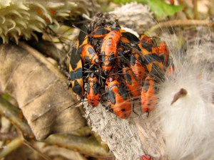milkweed bugs and beetles on milkweed pods in autumn. Photo by Donna L. Long