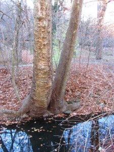 Sycamore on the wet edge of Monoshone Creek, a tributary of the Wissahickon Creek, Near Lincoln Drive in Wissahickon Valley Park. Photo by Donna L. Long.