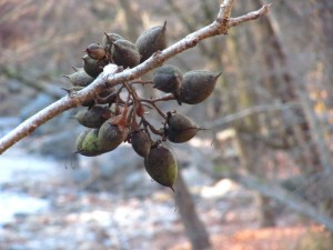 Tree seeds at the intersection of Forbidden Drive and Lincoln Drive. Wissahickon Valley Park. Photo by Donna L. Long.