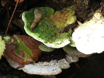 Fungi grows on a rotting tree in the Wissahickon Valley Park. Photo by Donna L. Long.