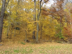 A lovely scene of golden leaves in the Wissahickon in the fall. (Along Lincoln Drive). Photo by Donna L. Long.