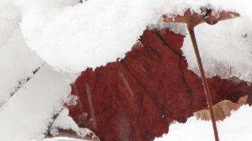 red leaves in the snow