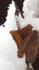 Curling brown leaves frozen in ice