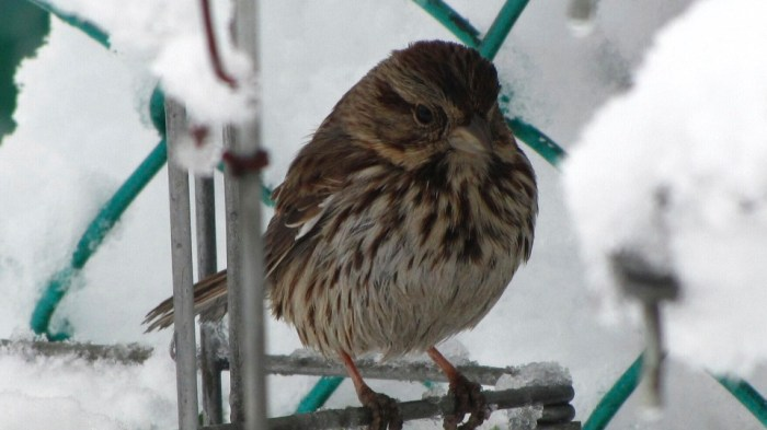 A Song Sparrow (Melospiza melodia) explores my garden in during a winter snowstorm.