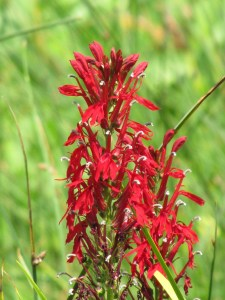 Cardinal Flower (Lobelia cardinalis) Photo by Donna L. Long.