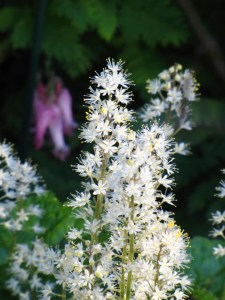 Eastern Foamflower (Tiarella cordifolia). Photo by Donna L. Long