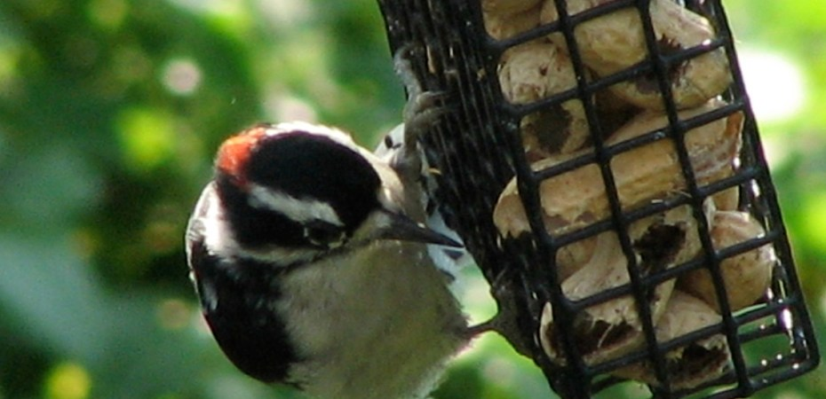 A Hairy Woodpecker (Picoides villosus) eats peanuts at a feeder in Fort Washington State Park. Photo by Donna L. Long.