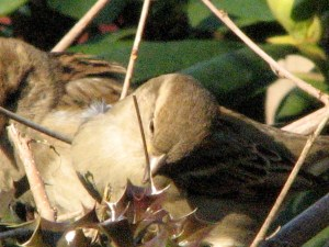 A female House Sparrow gathering twigs to build a nest.
