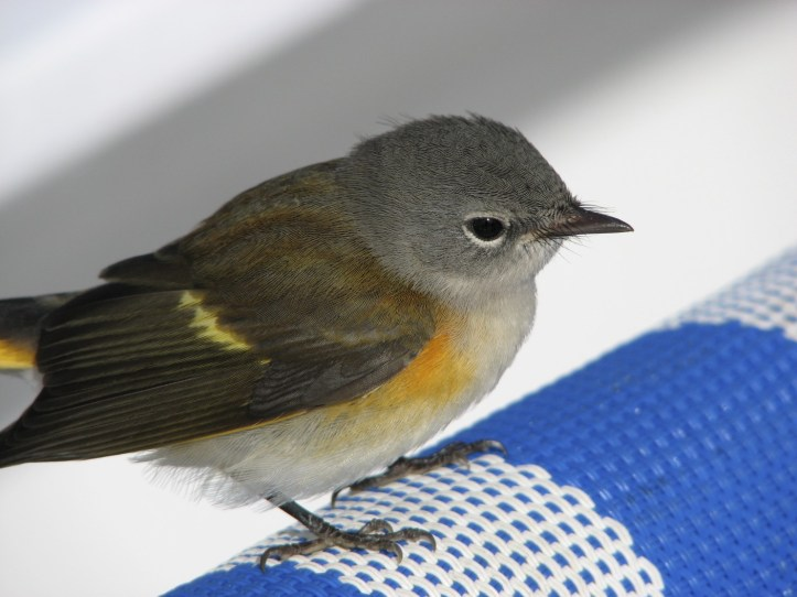 warbler rests during migration on the deck of a cruise ship in the Atlantic Ocean.