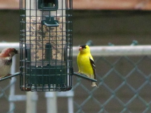 male house sparrow and male goldfinch