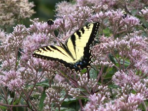 Tiger Swallowtail in Joe-Pye Weed