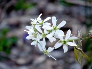The five-petal blossom of the Shadbush tree in my garden.