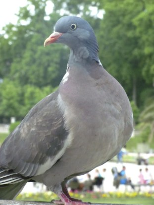 In the Luxembourg Gardens Even the pigeons have French elegance. Photo by Donna L. Long, 2014. All rights reserved.