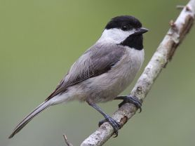 Carolina Chickadee By Dan Pancamo (Flickr: Carolina Chickadee) [CC BY-SA 2.0 (http://creativecommons.org/licenses/by-sa/2.0)], via Wikimedia Commons
