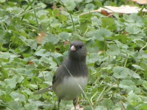 Dark-eyed Junco in my garden. Photo by Donna L. Long
