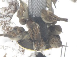 The gang is all here. House Sparrows in my garden.