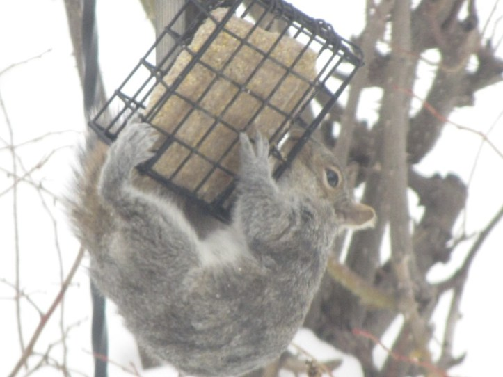 mammals_squirrel_eastern_gray