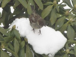 A sparrow on an icy ledge
