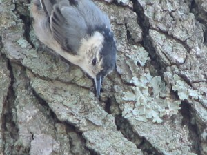 White-breasted Nuthatch. Photo by Donna L. Long